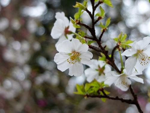 りんぽう桜