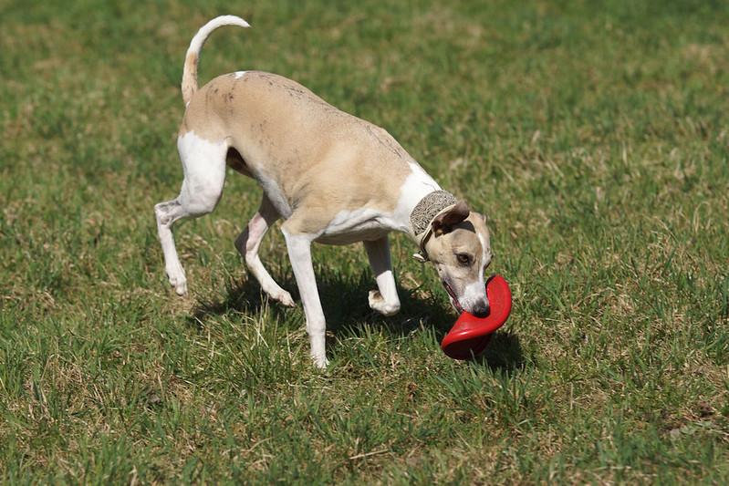 Frisbee-Junkie Nr.3: Charo (man beachte wie cool er das Frisbee trägt!)