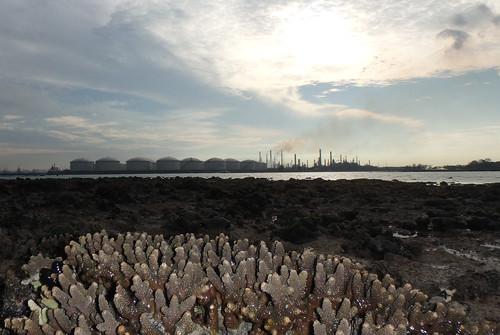Staghorn acropora coral (Acropora sp.)