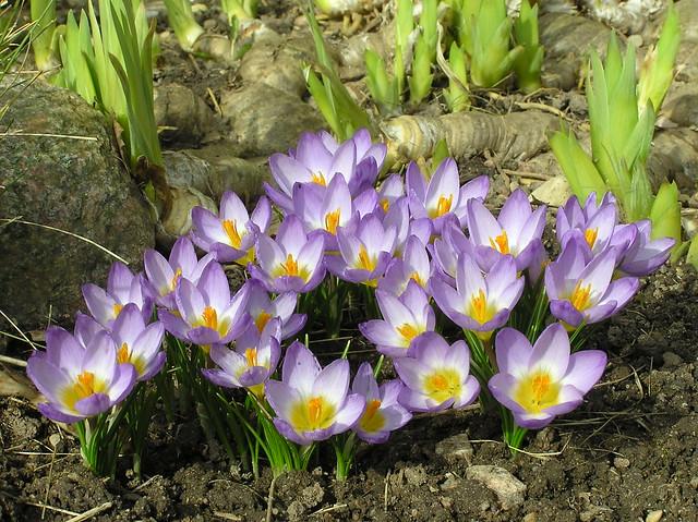 Iris sieberi 'Tricolor'