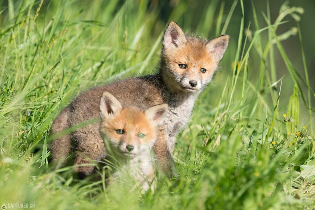 Fox kittys 2 - Emmental