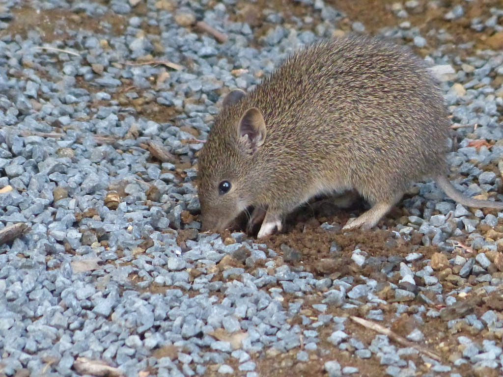 Image result for bandicoots in tasmania