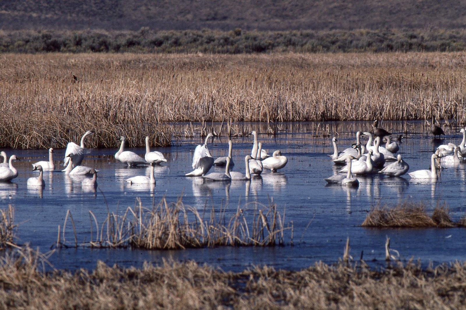 img113 Tundra Swans - Cygnus columbianus | by Jon. D. Anderson