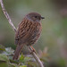 Dunnock with insect