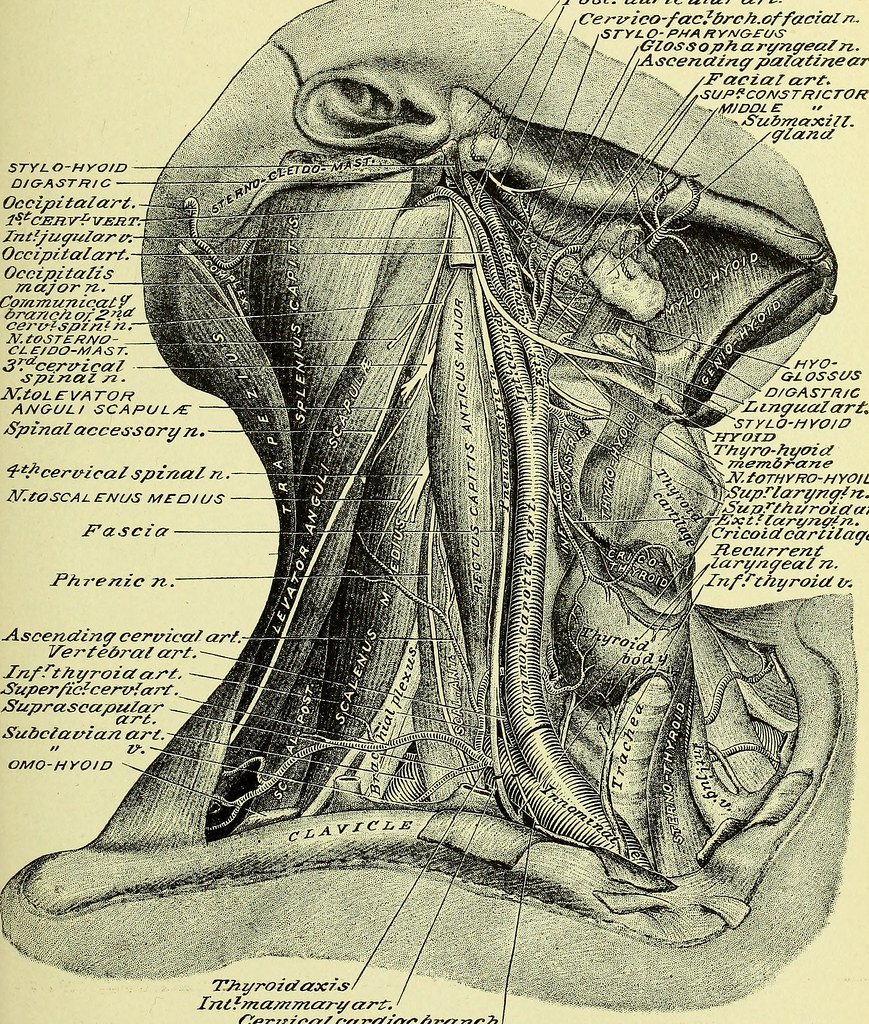 Image From Page 790 Of Practical Human Anatomy Electroni Flickr