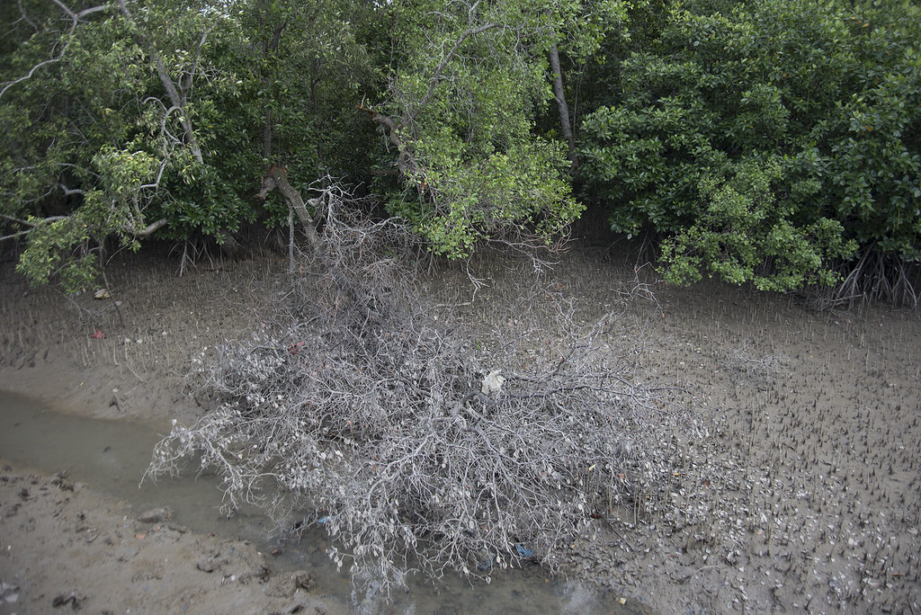 Changi Creek mangroves, with large broken tree