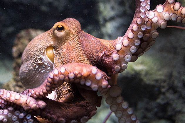 RNA-Editing-Shows-How-Smart-Cephalopods-Are-1