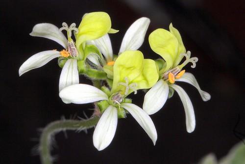 Pelargonium ochroleucum Harv.
