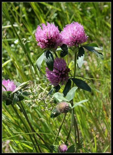 Trifolium pratense - trèfle des prés 33313235474_8f9b627b3c