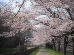 見沼代用水路東縁沿いの桜たち