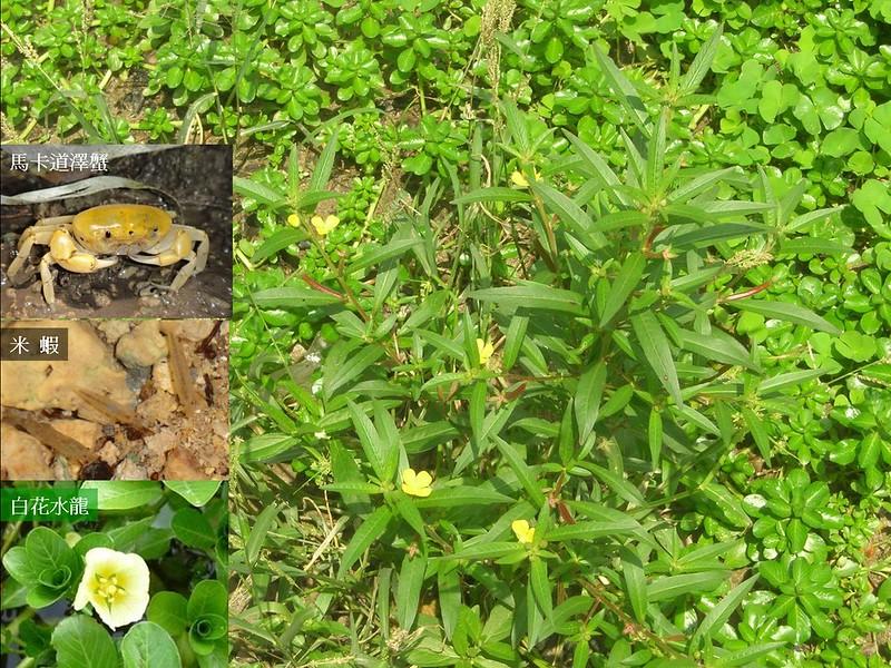 2005年以前,龍巖冽泉水池中,有開黃色小花的水丁香、白花水龍、像幸運草的田字草,還有原生的米蝦與馬卡道澤蟹,還記錄到野生鱸鰻。雨季觀察出泉,平常看水中生物的消長。但是,在2005、2008年的兩次工程後,這些生物都消失了! 照片提供:高雄市柴山會