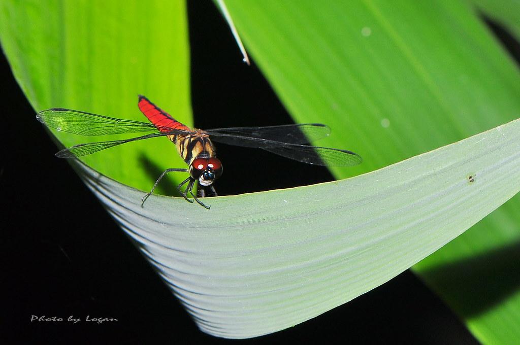 廣腹蜻蜓 雄。圖片來源:Logan Lai,符合CC授權使用。