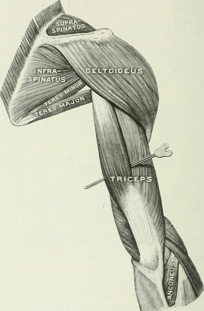 Image From Page 119 Of Applied Anatomy And Kinesiology T Flickr