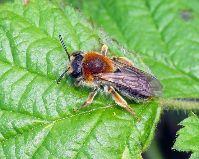 Early Mining Bee - Andrena haemorrhoa