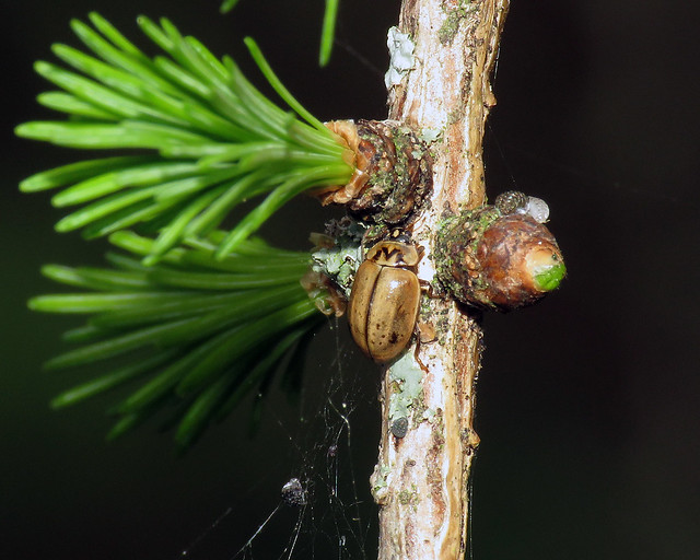 Larch Ladybird - Aphidecta obliterata