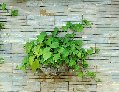 MONEY-PLANT-EPIPREMNUM-AUREUM