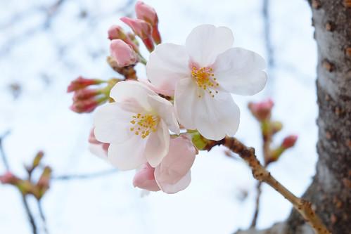 Sakura Tokyo 2017 03