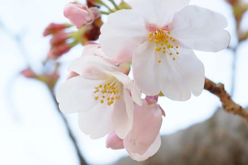 Sakura Tokyo 2017 02