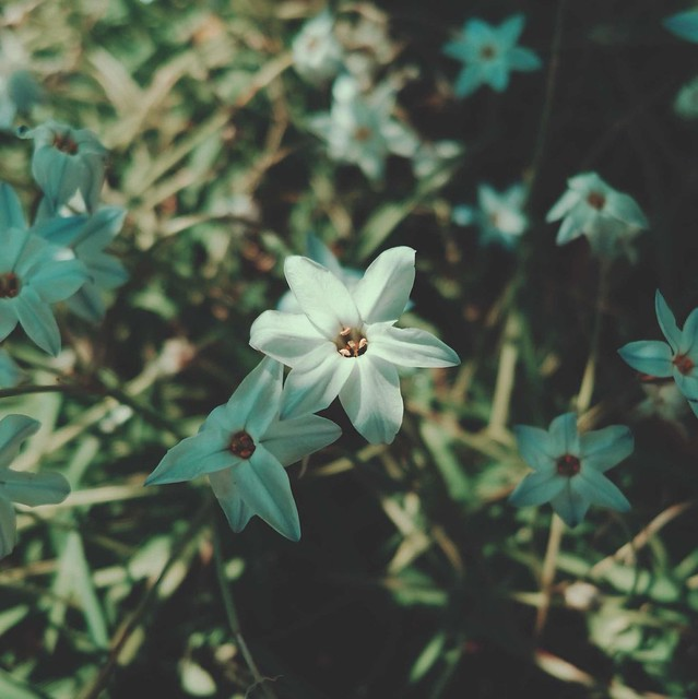 Spring starflower