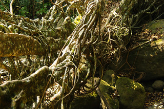 Living Root Bridge I | by Anthony Knuppel
