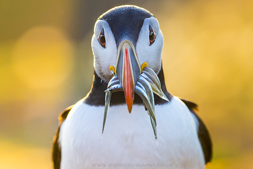 Puffin with Sand Eels Skomer Island 2014 | by iesphotography