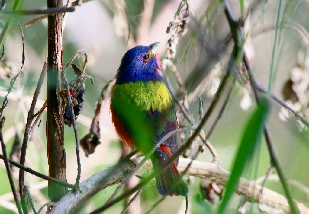 PAINTED BUNTING He wouldn't come out so I had to go in after him, I only use a single focal point but I'm still surprised the camera focused on the bird through all the bushes, sometimes you get lucky.