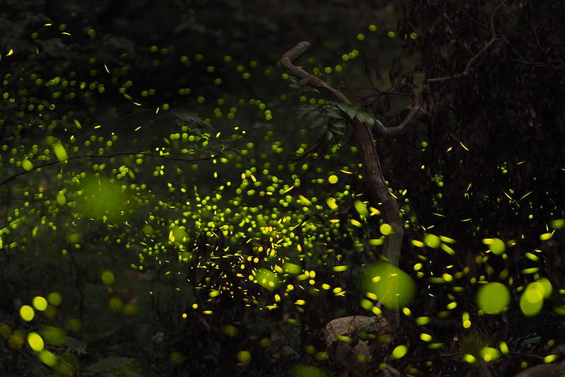 螢火蟲季來囉| Firefly