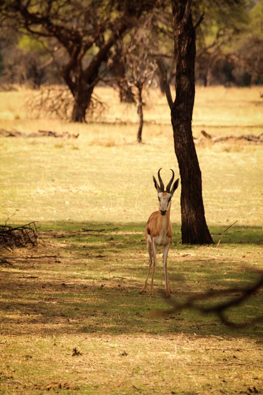 Springbock Namibia Safari Windhoek