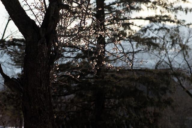 雪囲いに梅が咲く_201704_NO2