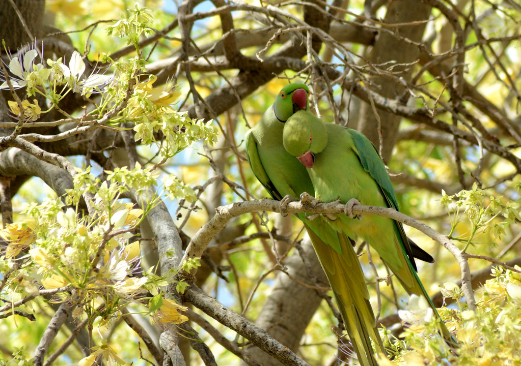 Courtship behavior in Rose-ringed Parakeet | Rose-ringed Par