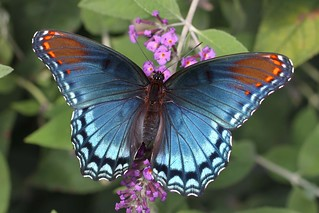 Red Spotted Purple | by DrPhotoMoto