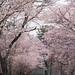 第51回しずない桜まつり