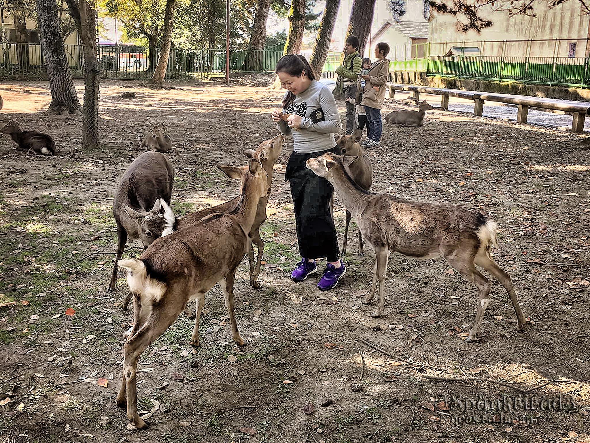 Nara Deers