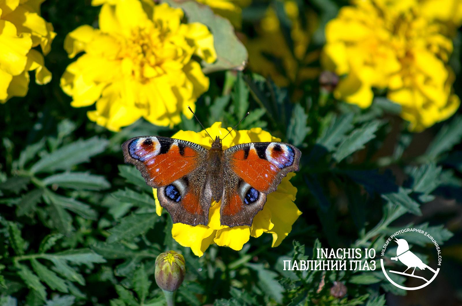 Inachis io // 01042017