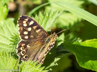 Speckled Wood | by dudutrois