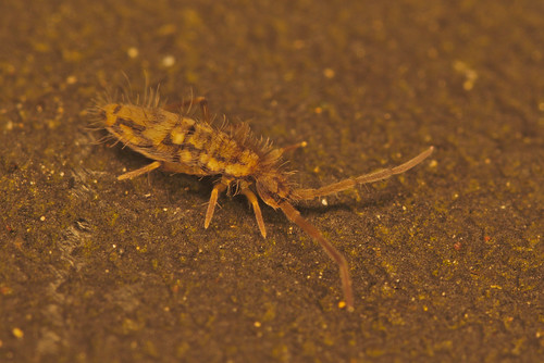 Springtail EF7A2925 | by davholla2002