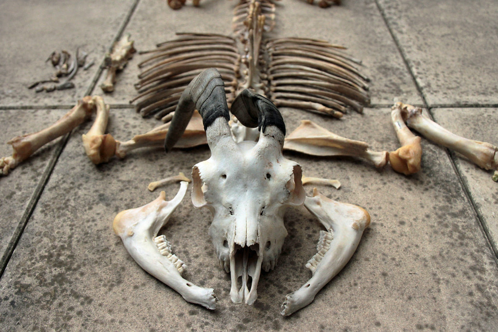 Capra hircus | I have cleaned a new skeleton, a pygmy goat !… | Flickr