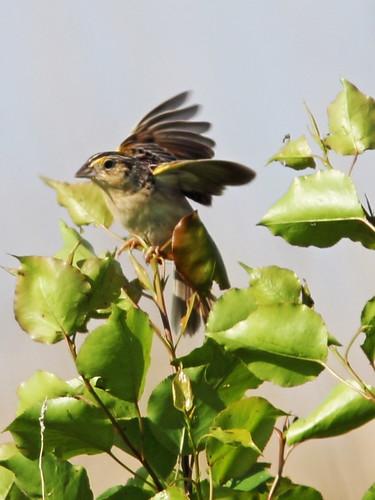 Grasshopper Sparrow 2-20140522