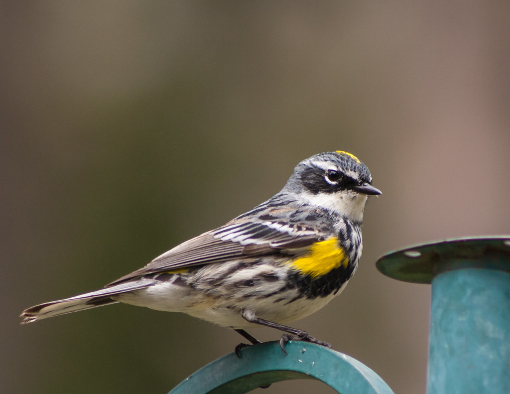 Image of Myrtle Warbler in breeding plumage.