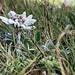 An edelweiss flower in the Rax mountain in Lower Austria