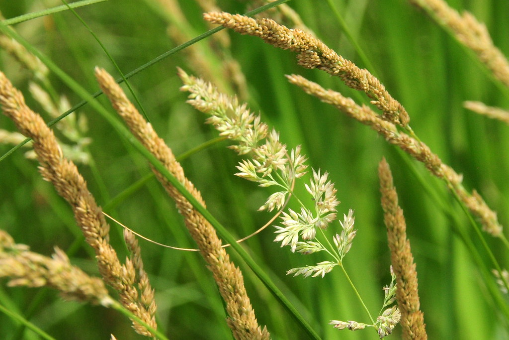 Blue Bird Names >> Canada bluejoint (Calamagrostis canadensis) Sand Lake Wetl ...