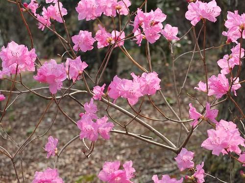 桜玄海つつじ
