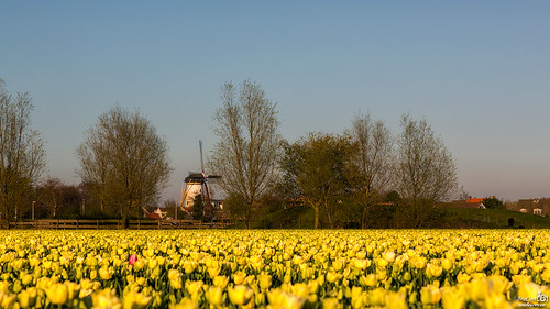 Double dutch, windmill and tulips