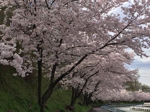 道路沿いの桜