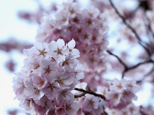 2017.4.14 桜