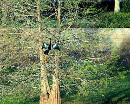 Anhinga in Cypress 20170307