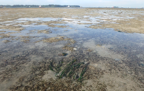 Tape seagrass (Enhalus acoroides) and Spoon seagrass (Halophila ovalis)