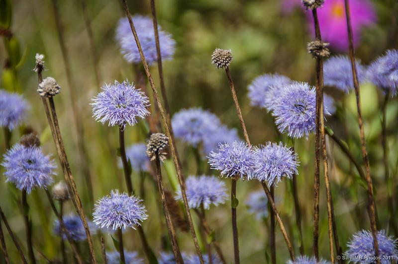 Flores de Marmellar