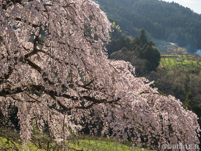 Sakura trees at west Yoshino area (3)