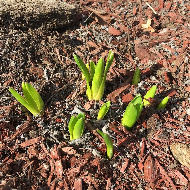 Worked on cleaning up flower beds this afternoon. Found these hyacinths hiding under old catmint foliage.